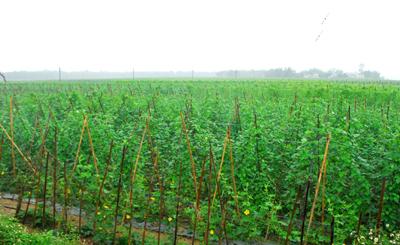 Năm 2020 tổng giá trị sản xuất nông nghiệp của Đại Lộc đạt hơn 1.430 tỷ đồng